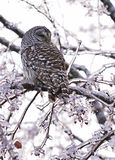 Barred Owl Displaced in Ice Storm Stock Photos