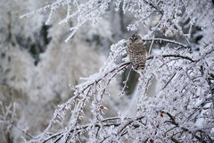 Barred Owl Displaced in Ice Storm Royalty Free Stock Photo