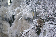 Barred Owl Displaced in Ice Storm Stock Photography