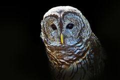 Barred owl. Dramatic close-up portrait of a barred with a black background Stock Photo