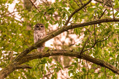 Barred Owl, early evening Royalty Free Stock Images