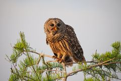 Barred Owl eating a crayfish in the Everglades. royalty free stock photo