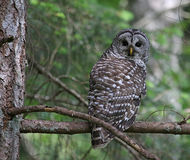 Barred Owl Eye Contact. A Barred Owl Strix varia looking back while perched on a branch. Shot on Gabriola Island, British Columbia, Canada stock photo