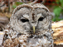 Barred Owl Face. A close up of a Barred Owls face royalty free stock photos