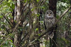 Barred Owl at Fakahatchee Strand Preserve State Park, Florida stock photo