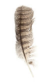 Barred Owl feather. L with white background royalty free stock photo