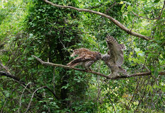 Barred owl feeding its young on a branch, wings open facing each other. Stock Photos
