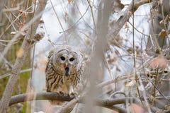 Barred owl feeding Royalty Free Stock Photo