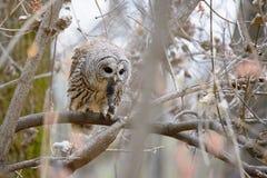 Barred owl feeding Stock Photos