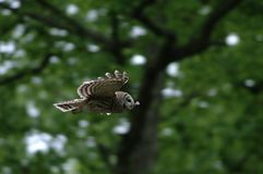 Barred owl in flight. A barred owl glides through a meadow stock photo