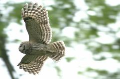 Barred owl in flight Stock Image