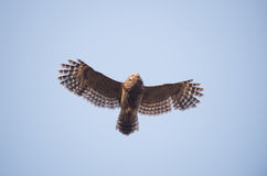 Barred owl in flight Royalty Free Stock Photography