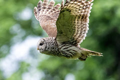 Barred Owl in flight Stock Photography