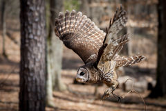 Barred Owl in Flight. A Barred Owl flying in a North Carolina forest Stock Photo