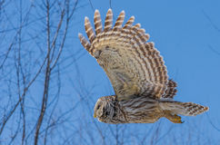 Barred owl in flight. Barred owl flying under the blue sky stock photos