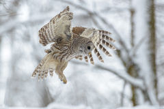 Barred owl flying in the forest Stock Image