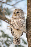 Barred owl in the forest Royalty Free Stock Image