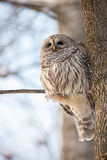 Barred owl in the forest Royalty Free Stock Photography