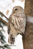 Barred owl in the forest Royalty Free Stock Photo