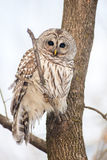 Barred owl in the forest Stock Image