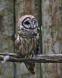 Barred Owl full body Stock Image