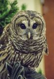 A Barred Owl sits near a green pine branch. royalty free stock images