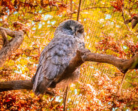 Barred Owl. Grey Barred Owl perching on a tree branch royalty free stock photo
