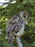 Barred Owl (halfturn) Royalty Free Stock Photos