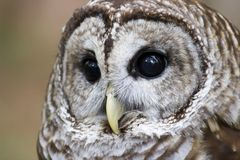 Barred Owl Head Shot Royalty Free Stock Photo