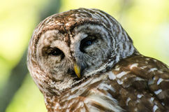 Barred Owl Head Shot. Barred Owl that was stunned being hit by a car. Took photos before releasing to wild after rehabilitation Royalty Free Stock Photos