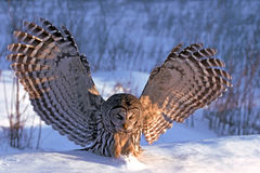 Barred owl hunting Stock Photo