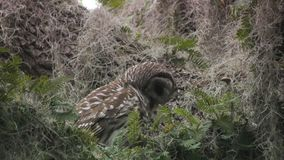 Barred Owl with its prey. In Florida wetlands stock video