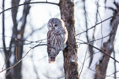 Barred Owl. The barred owl is a large typical owl native to North America. Best known as the hoot owl for its distinctive call, it goes by many other names stock photography