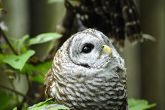 Barred Owl. A little Barred Owl looking up into the sky royalty free stock photo