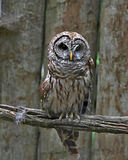 Barred Owl on long branch Royalty Free Stock Images