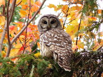 Barred owl. Looking for a afternoon snack stock photo