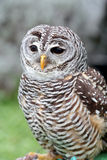 Barred owl looking ahead. A barred owl, Strix varia, is looking ahead royalty free stock image