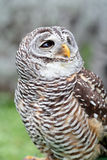 Barred owl looking behind Royalty Free Stock Photography