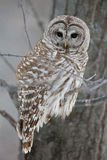 Barred Owl - Looking at Camera. Barred owl in the forest in winter.  Hunting.  Looking at camera Stock Photography