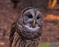 Barred Owl Stock Photos