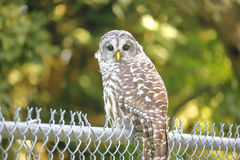 Close on a Barred Owl Stock Photos