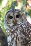 Barred Owl. Making eye contact with the camera Royalty Free Stock Images