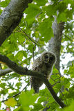 Barred Owl in maple tree looking at camera Royalty Free Stock Image
