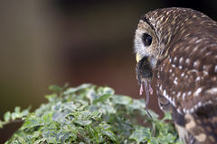 Barred Owl with Mouse Royalty Free Stock Photography
