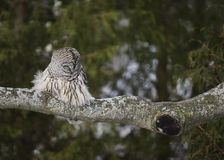 Barred Owl Napping Stock Image