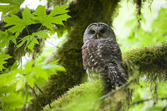Barred owl in Olympic National Park Stock Photography