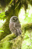 Barred owl in Olympic National Park Stock Image