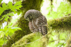 Barred owl in Olympic National Park Royalty Free Stock Photo