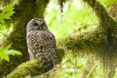 Barred owl in Olympic National Park Stock Photo