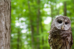 Barred owl outdoors. A closeup of a barred owl next to a tree Royalty Free Stock Photography